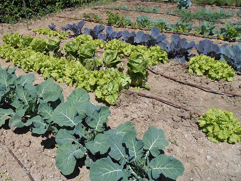 Brassicas and lettuce