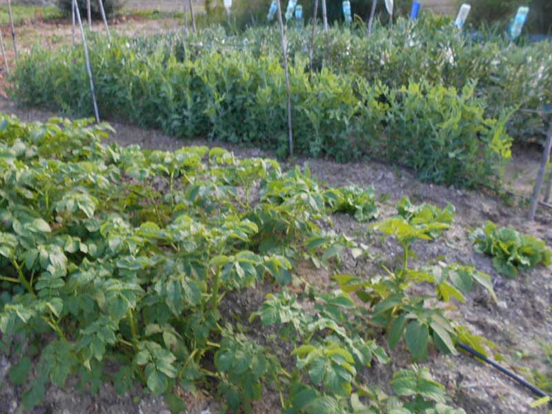 Peas and beans with support. Potatoes in the foreground. All in composted ground