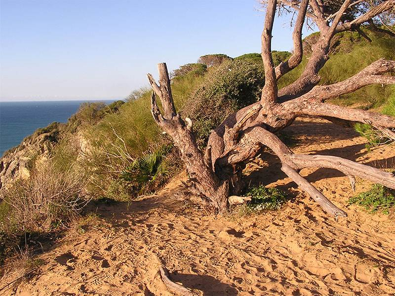 Wind twisted tree at Barbate