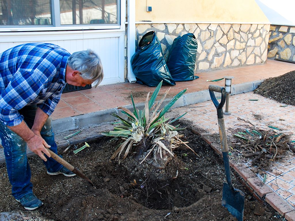 Digging out Dracaena