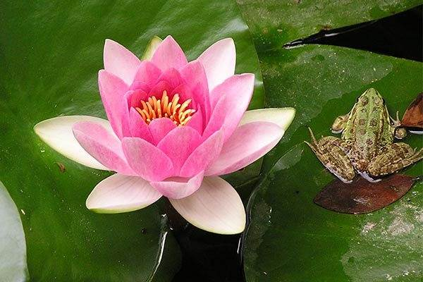 Water Lily and Frog at La Concepcion Botanical Gardens
