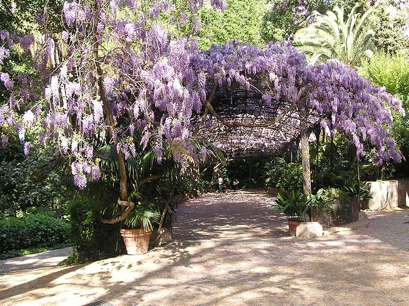 Wisteria arch at La Concepcion Botanical Gardens