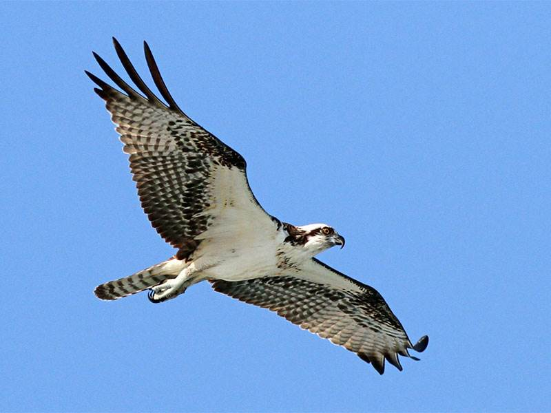 Where and when to watch raptor migrations across the Gibraltar Strait