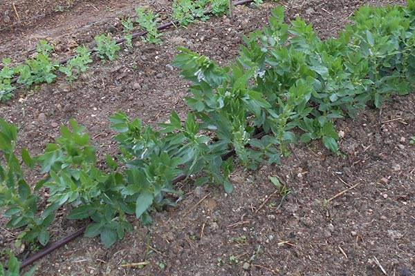 Peas and broad beans doing well