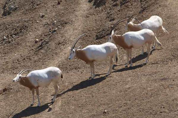 Scimitar Oryx in the 'Serengeti'